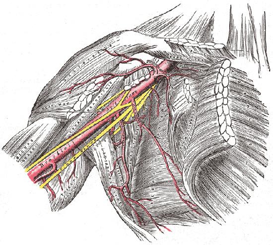 armpit nerves diagram